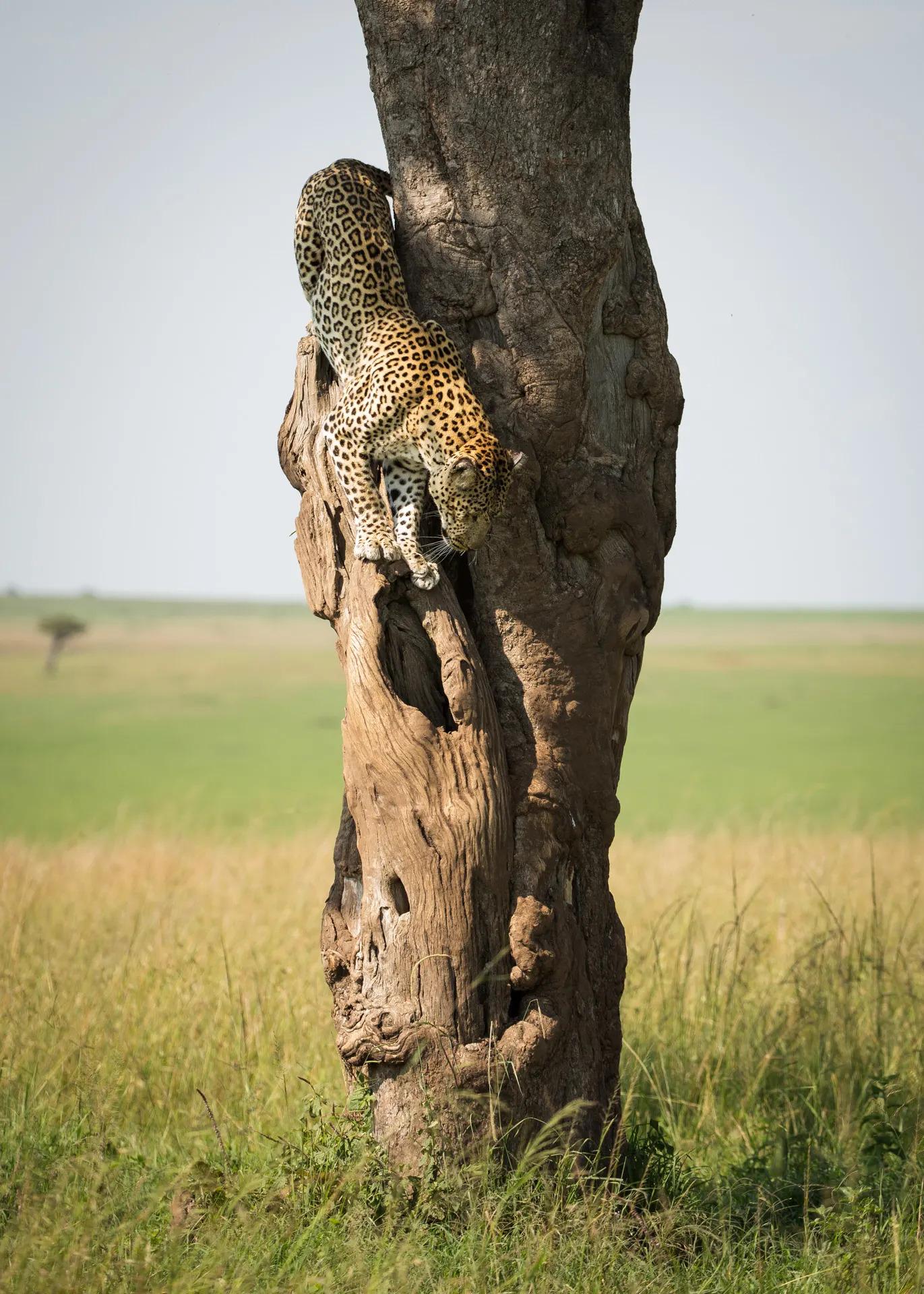 Leopard descending tree