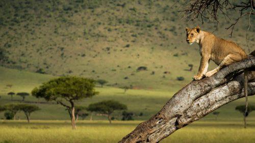 A tree climbing lioness surveys her surroundings
