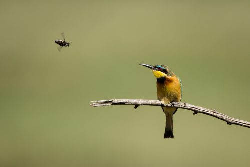 A bee-eater eyeing out some lunch