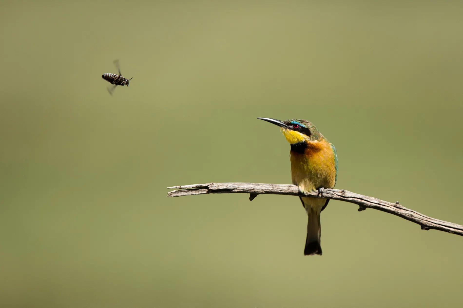 Bee Eater & Bee