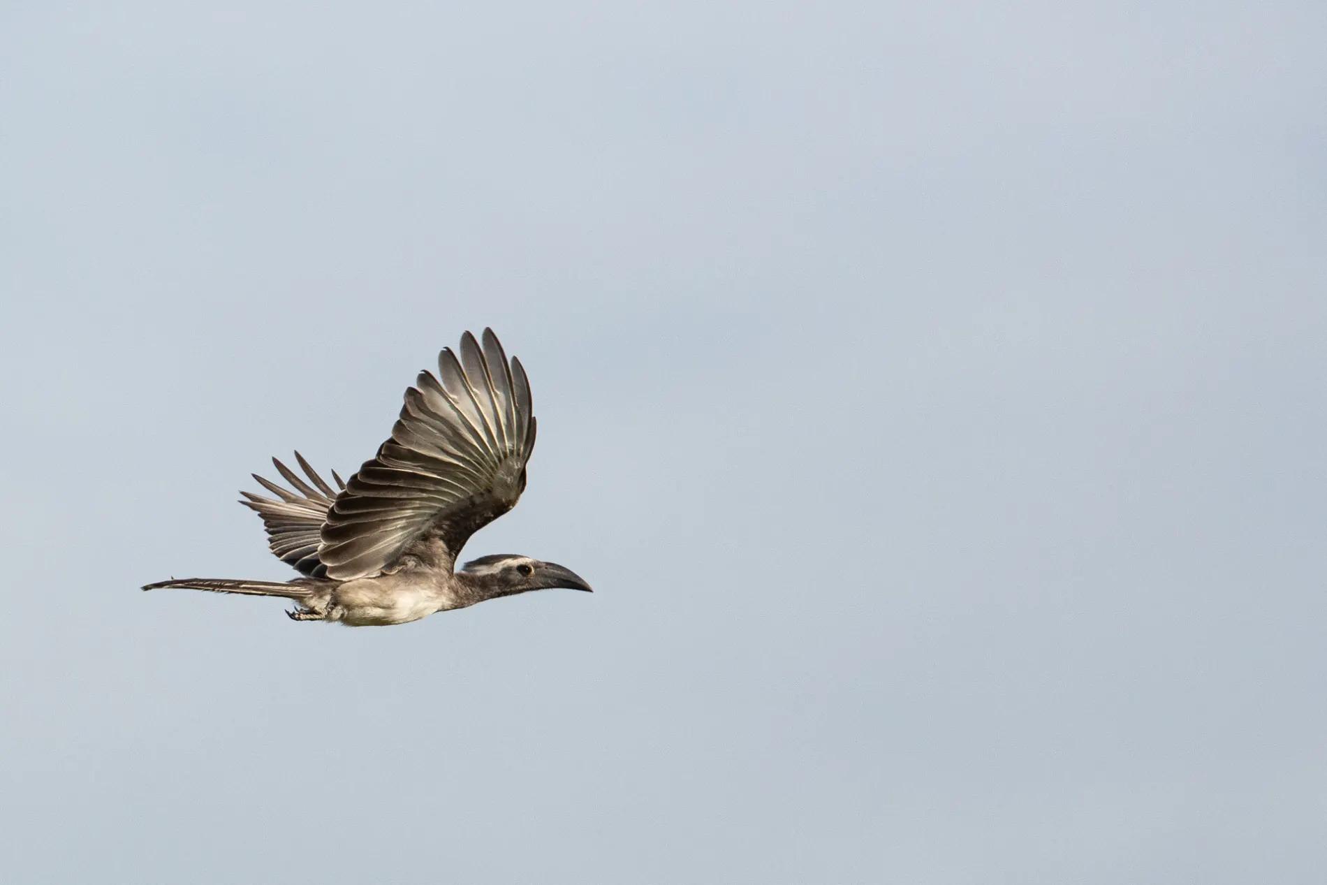 Hornbill in flight