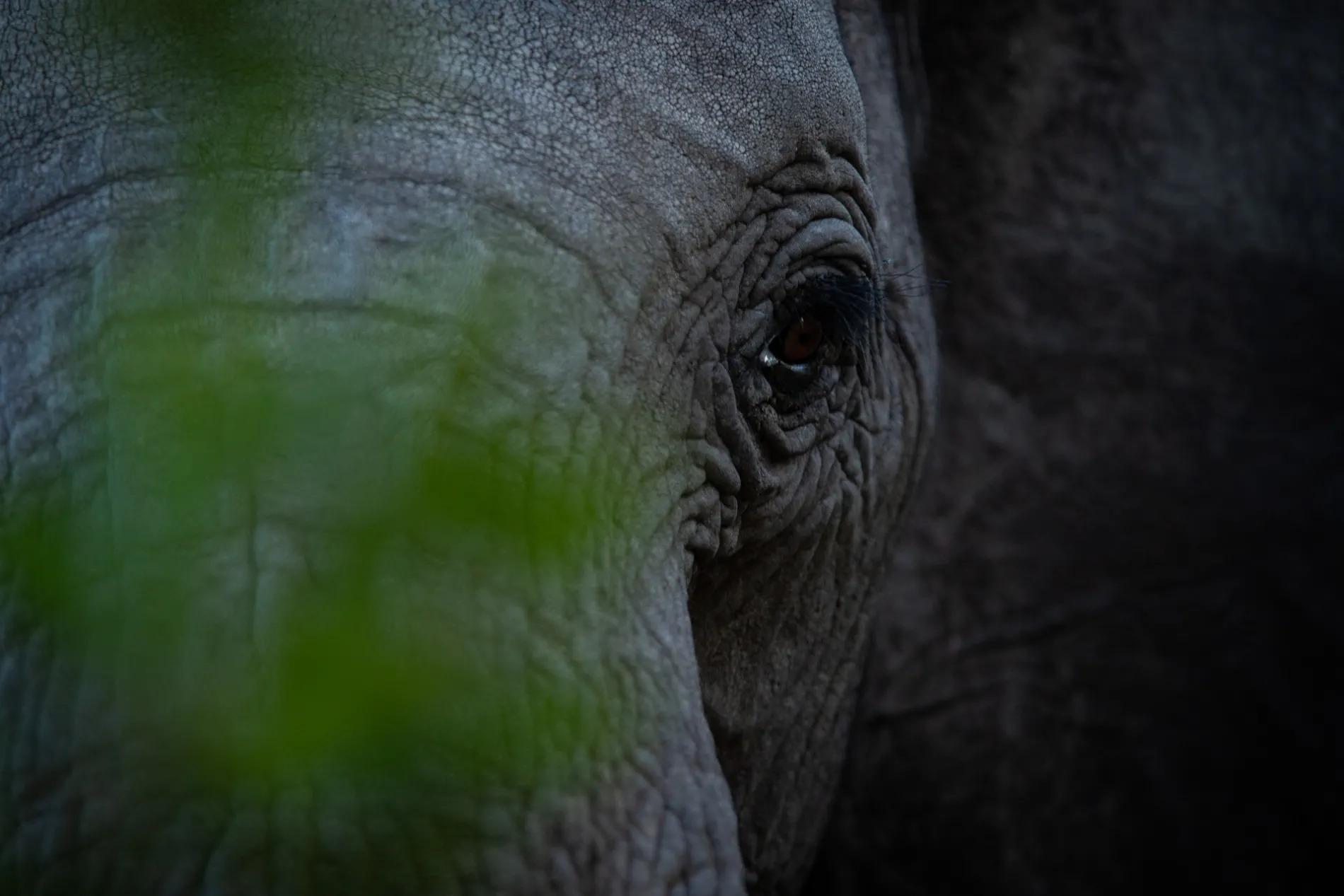 Pejeta Elephant