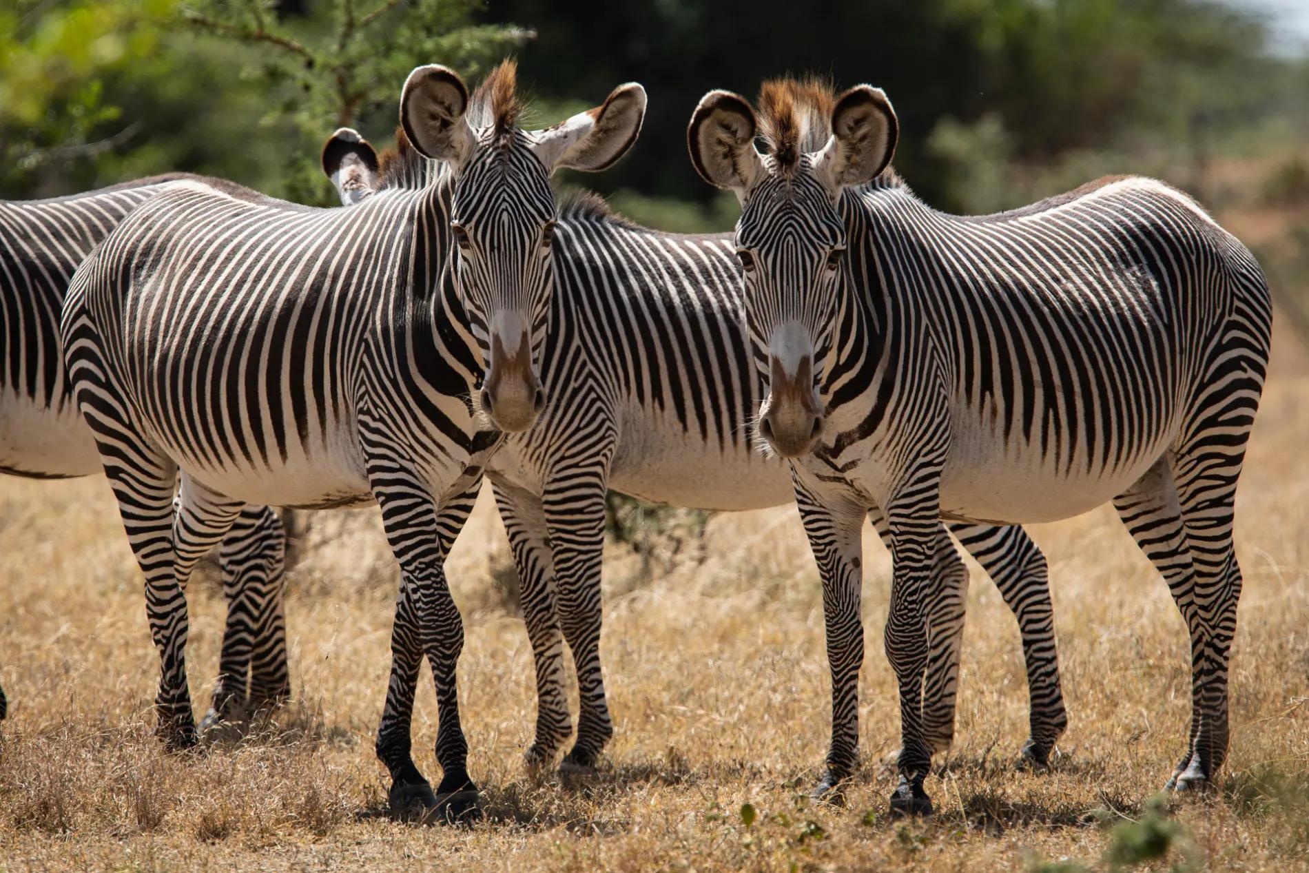 Pejeta zebra