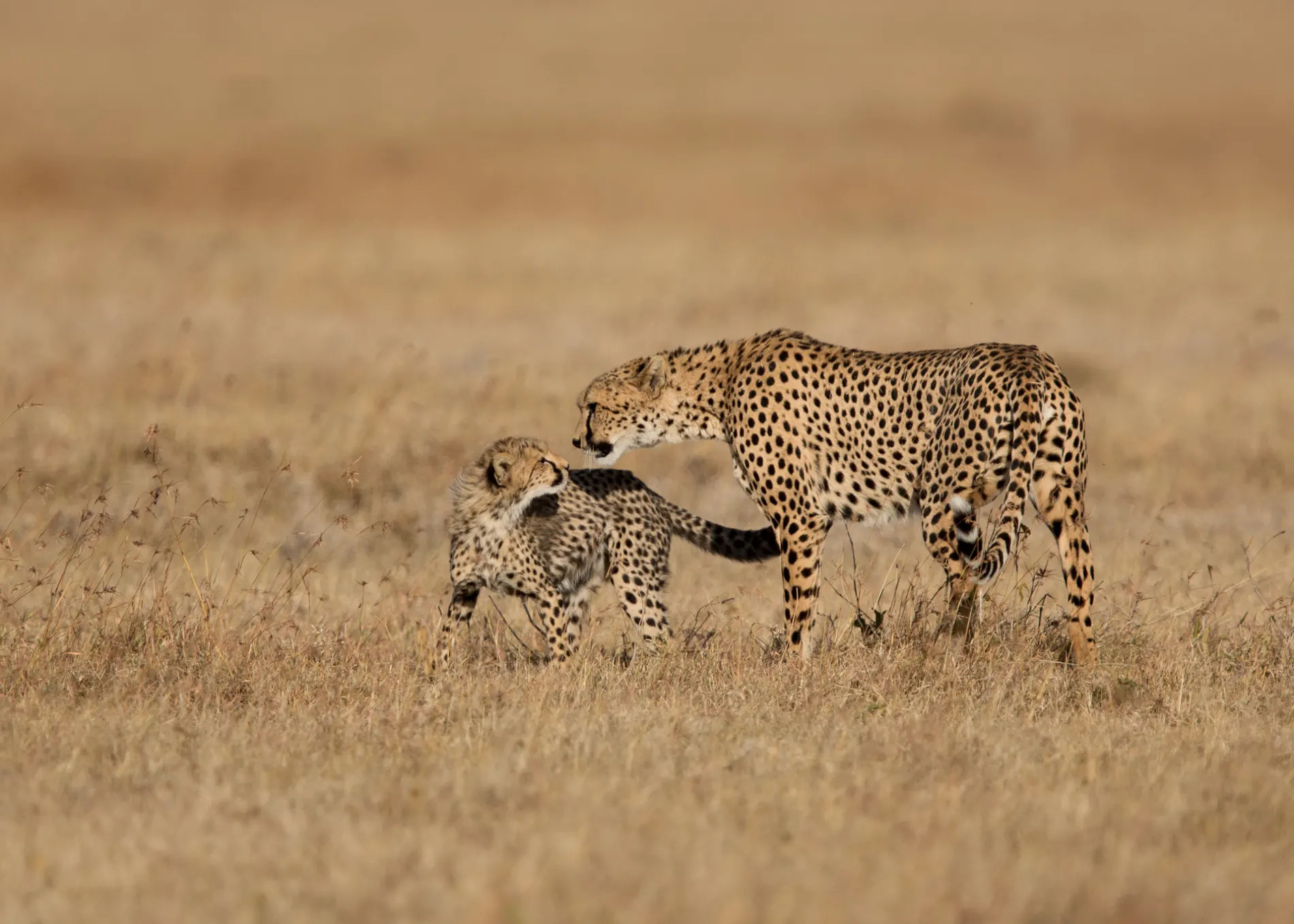 Pejeta cheetah