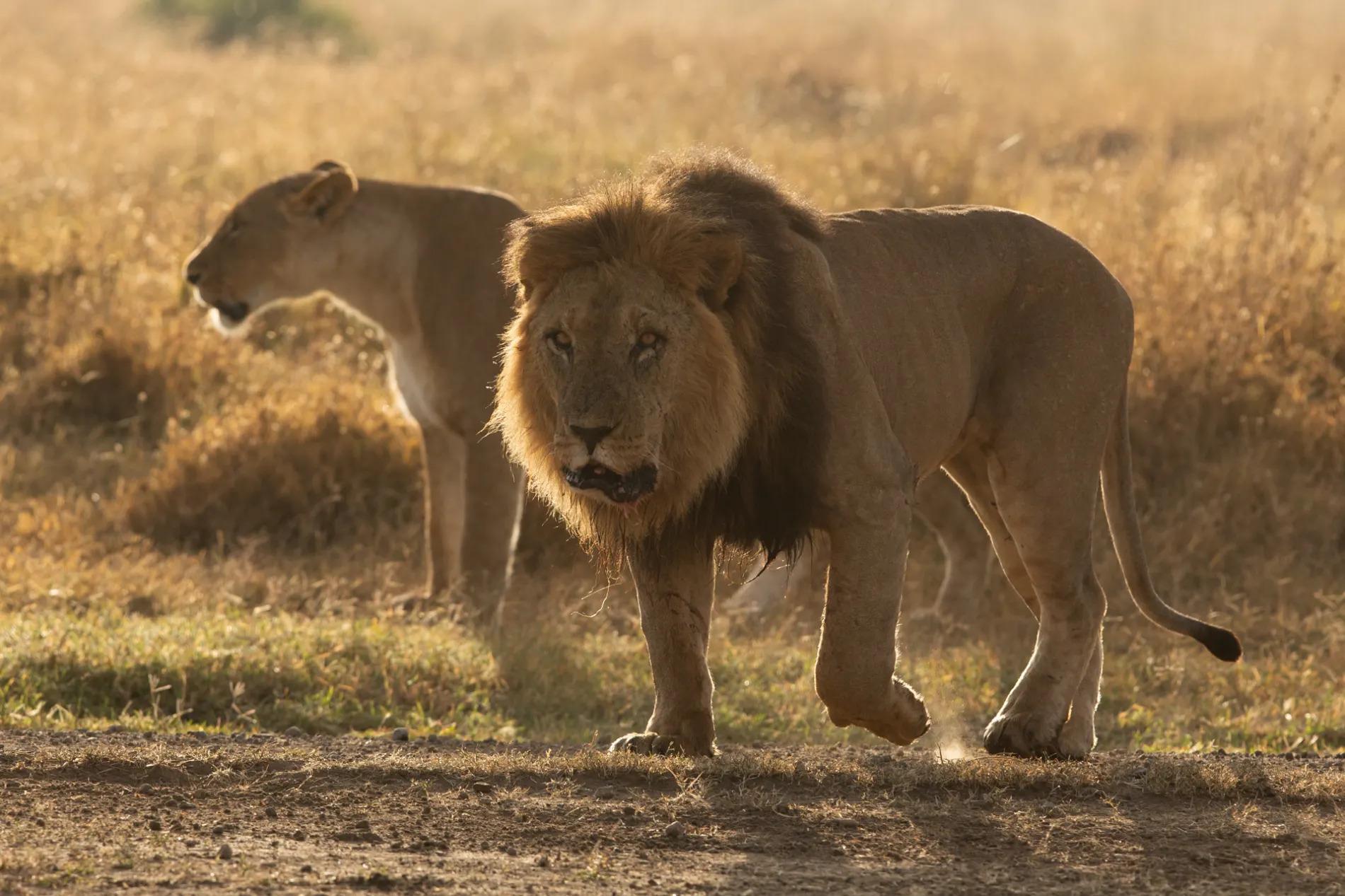 Pejeta lions