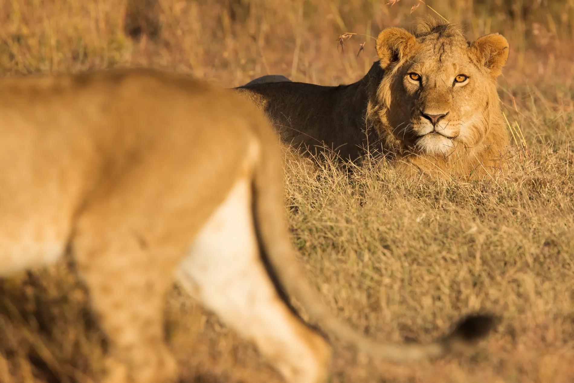 Pejeta Lions 2