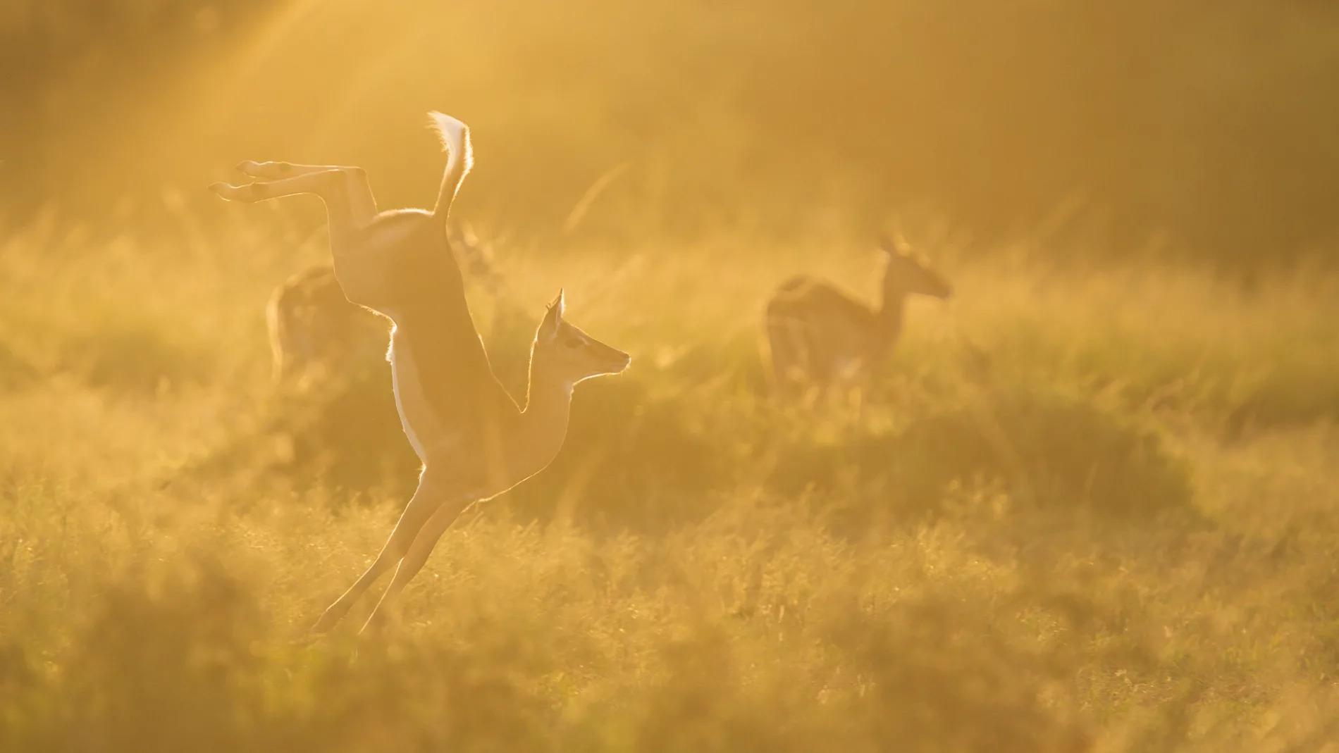 Impala jump sunset