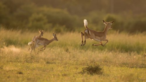 Impala jumping in the early morning light