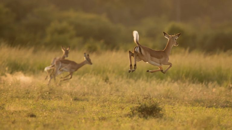 Impala jumping in lovely light