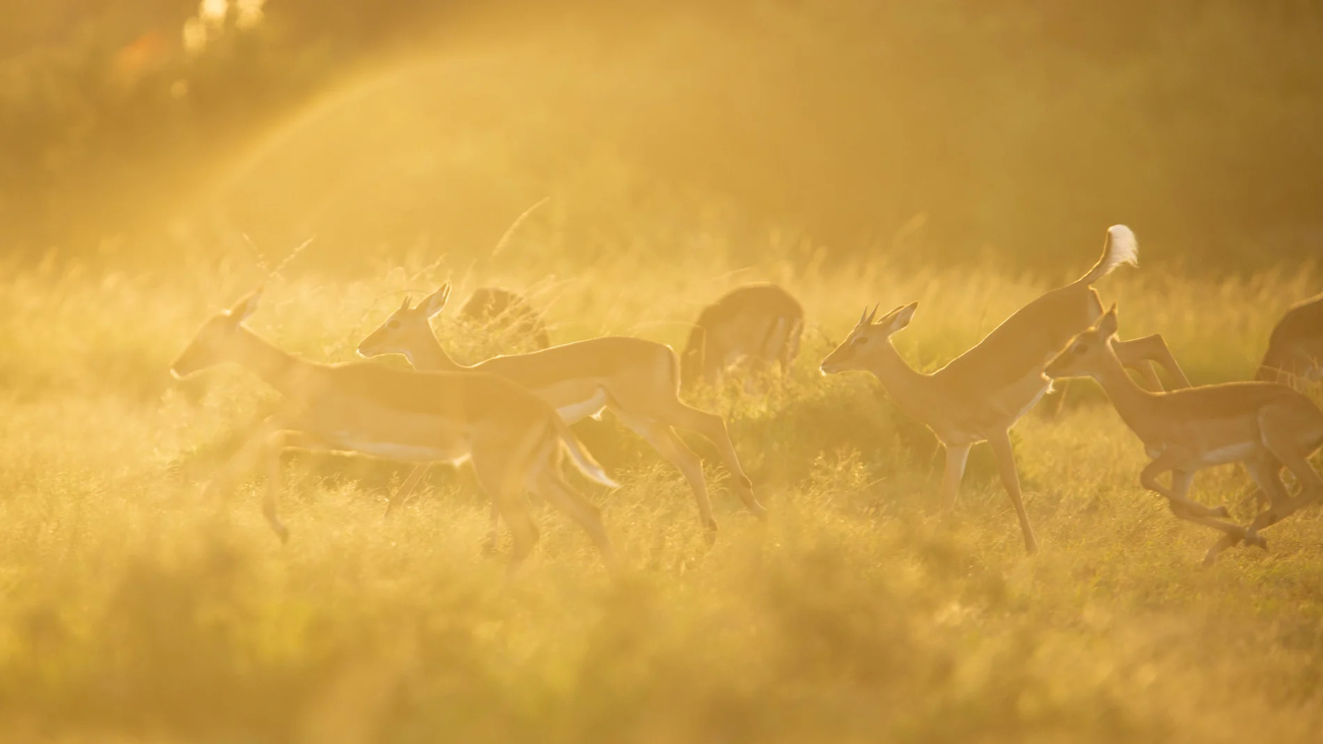 Impala herd afternoon light