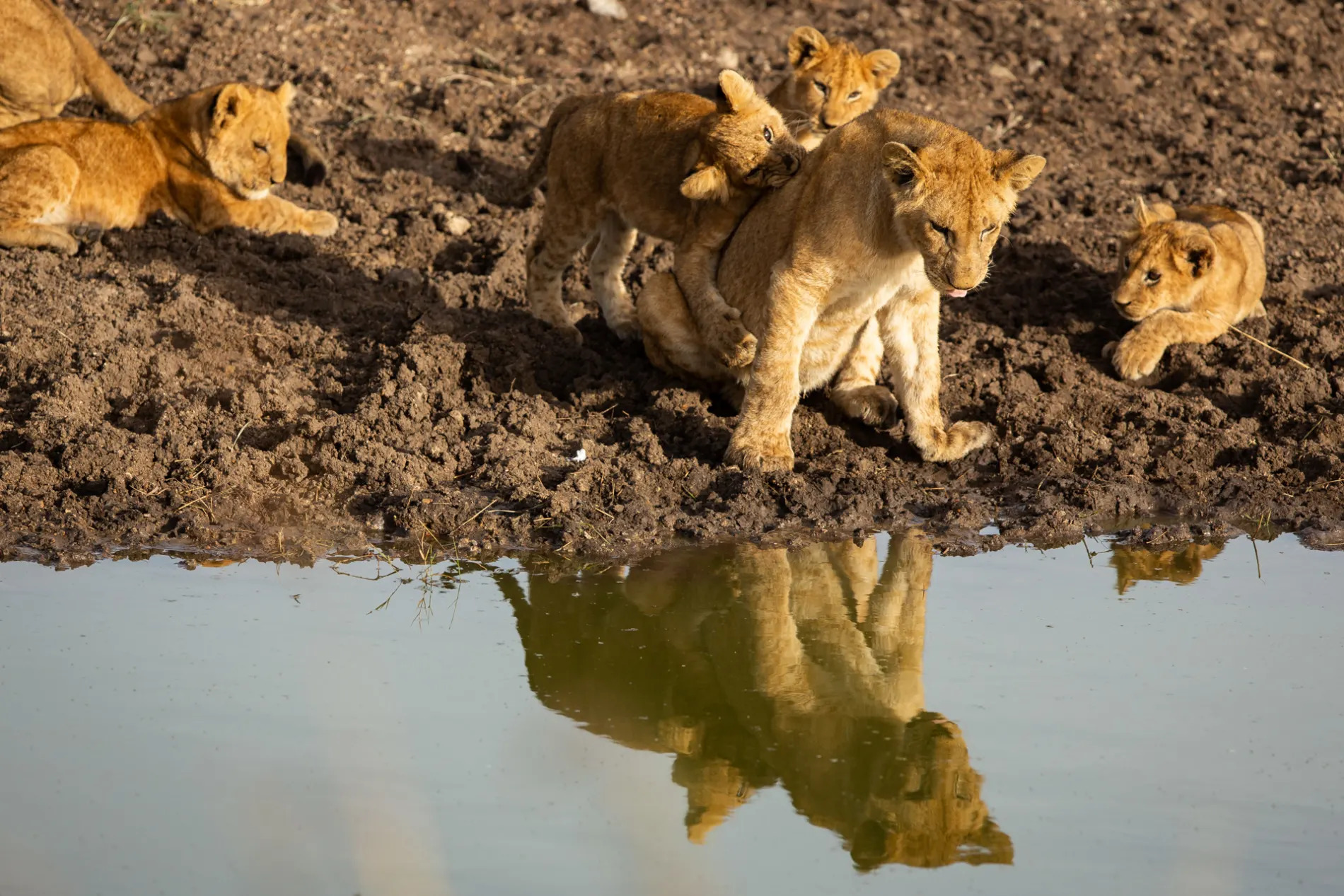Lion cubs and water