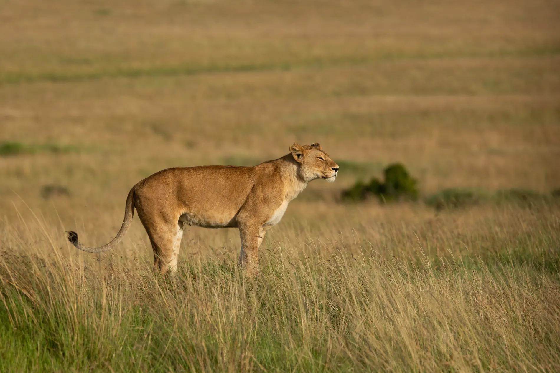 Standing lioness