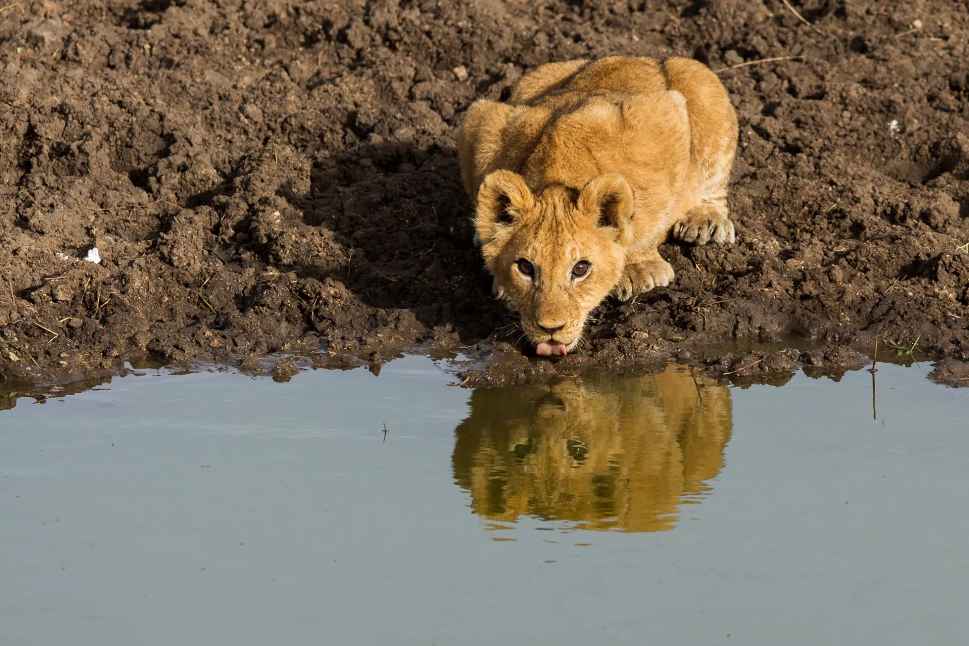 Lion cub and water