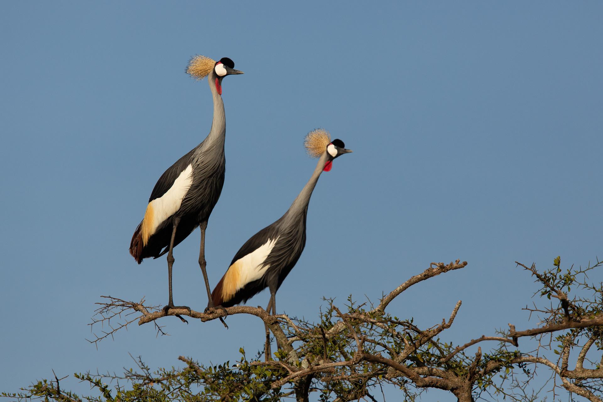 Crowned Cranes in tree