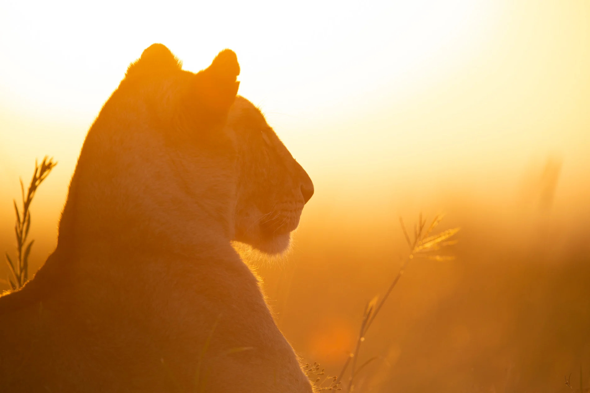 Lioness in gold