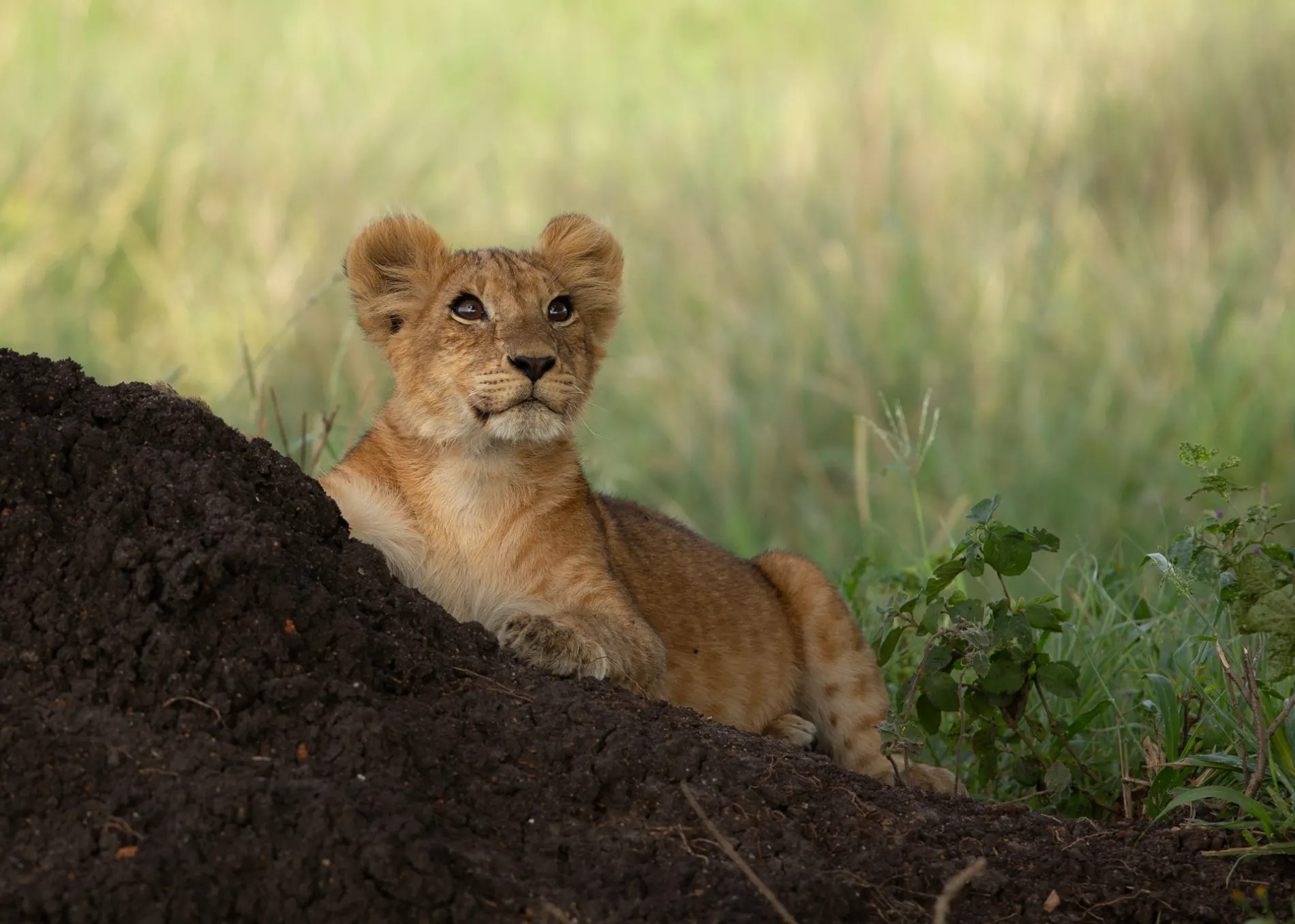 Lion cub and mound