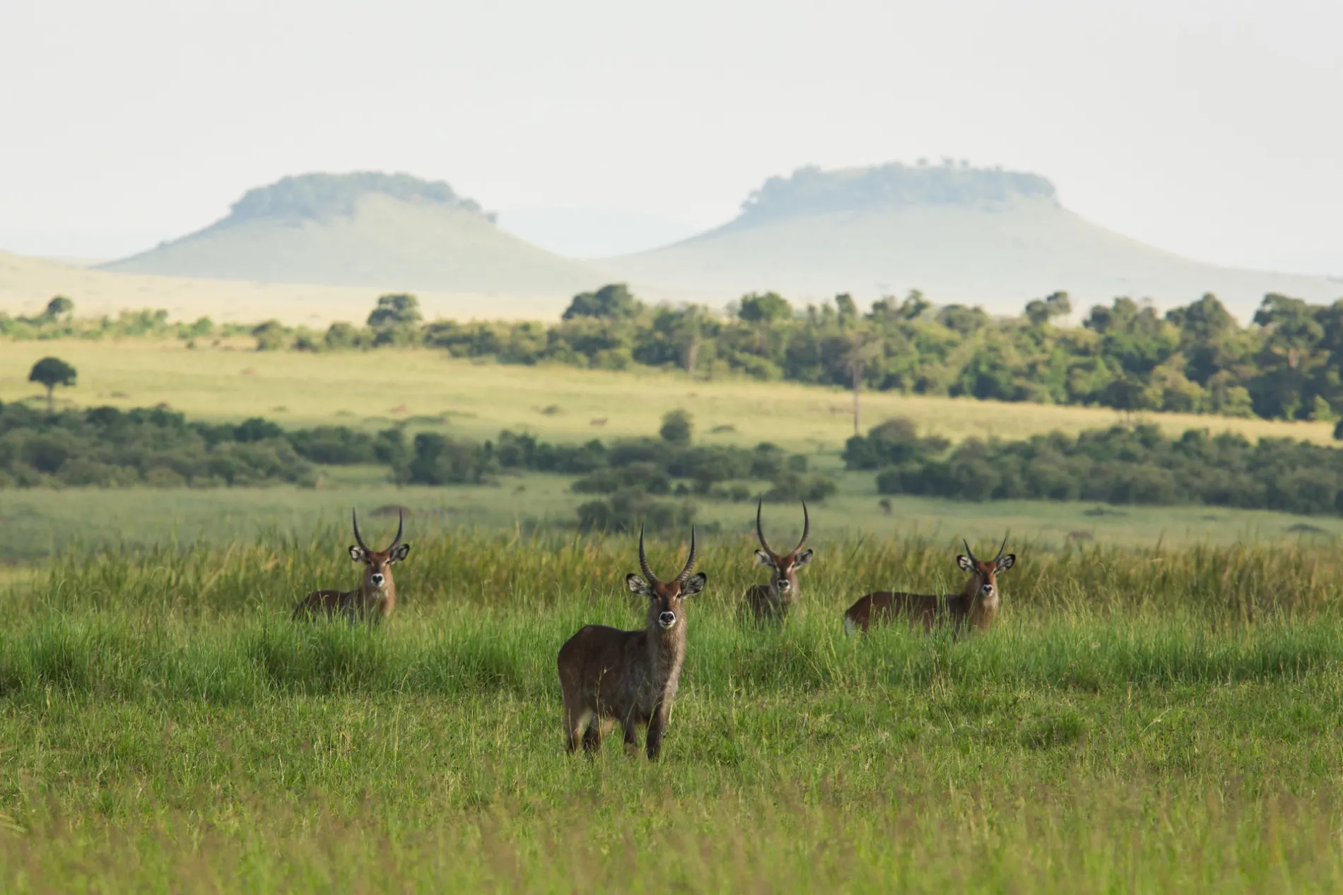 Waterbuck and hills