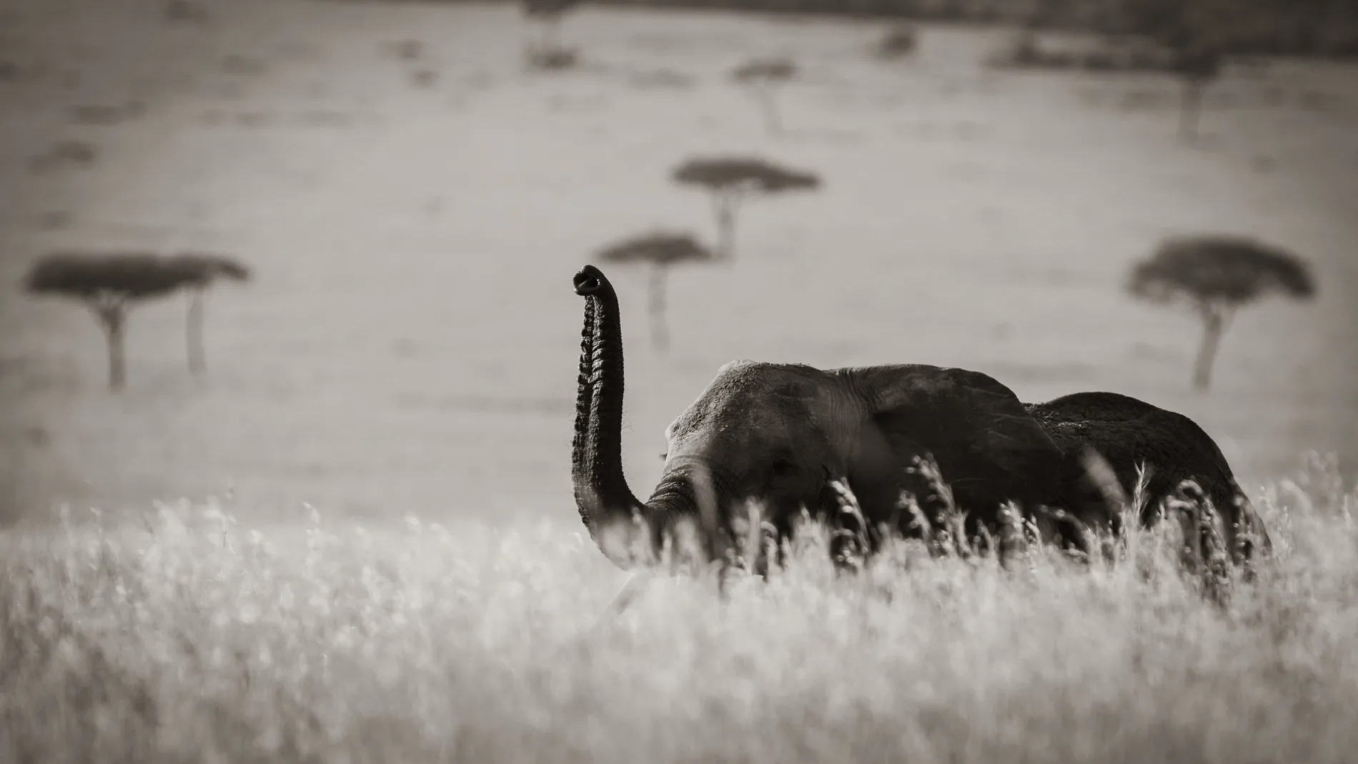 Elephant long grass