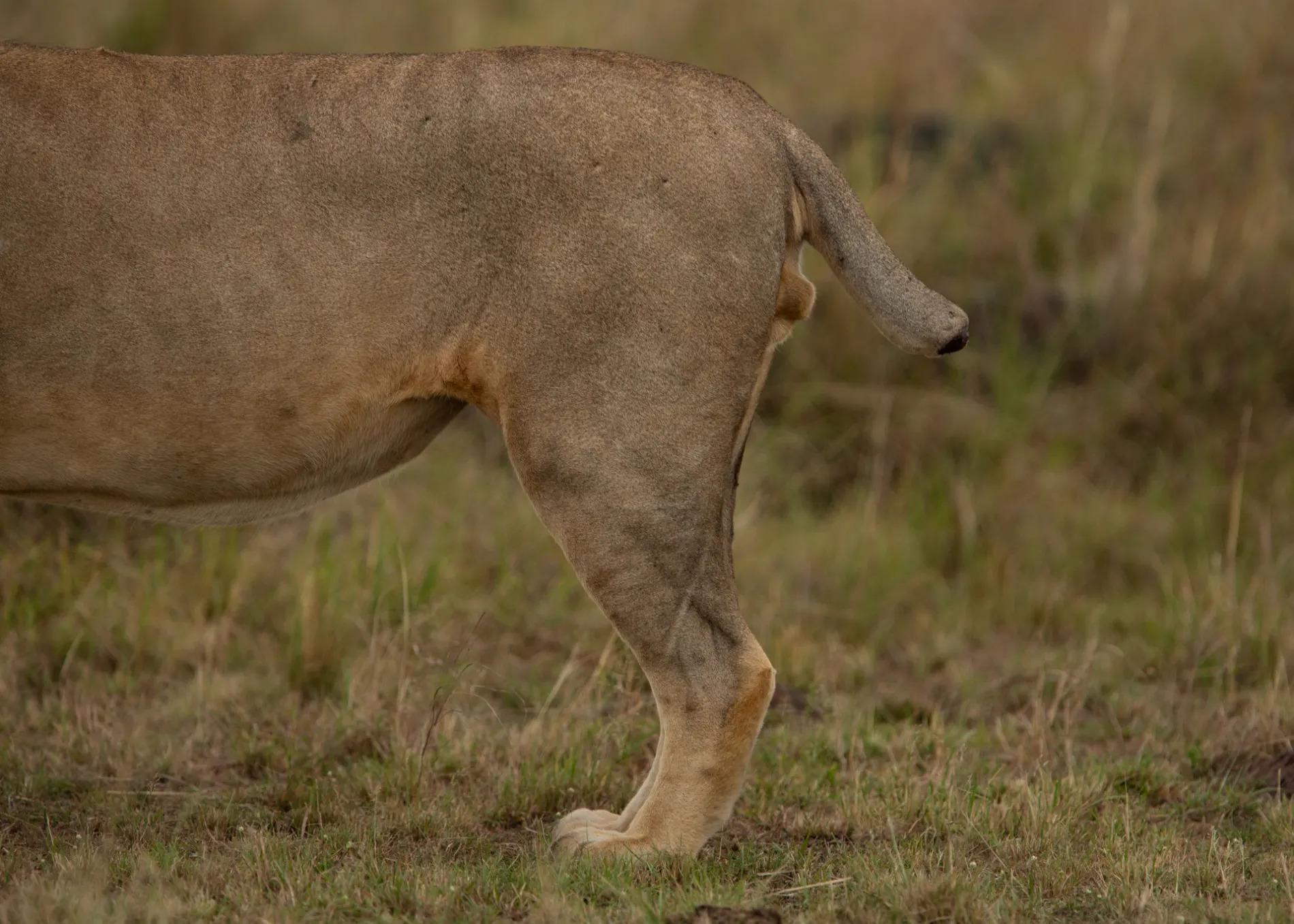 Lion short tail