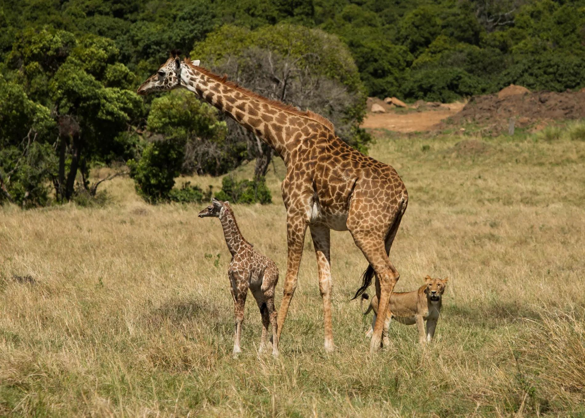 Lioness and giraffe