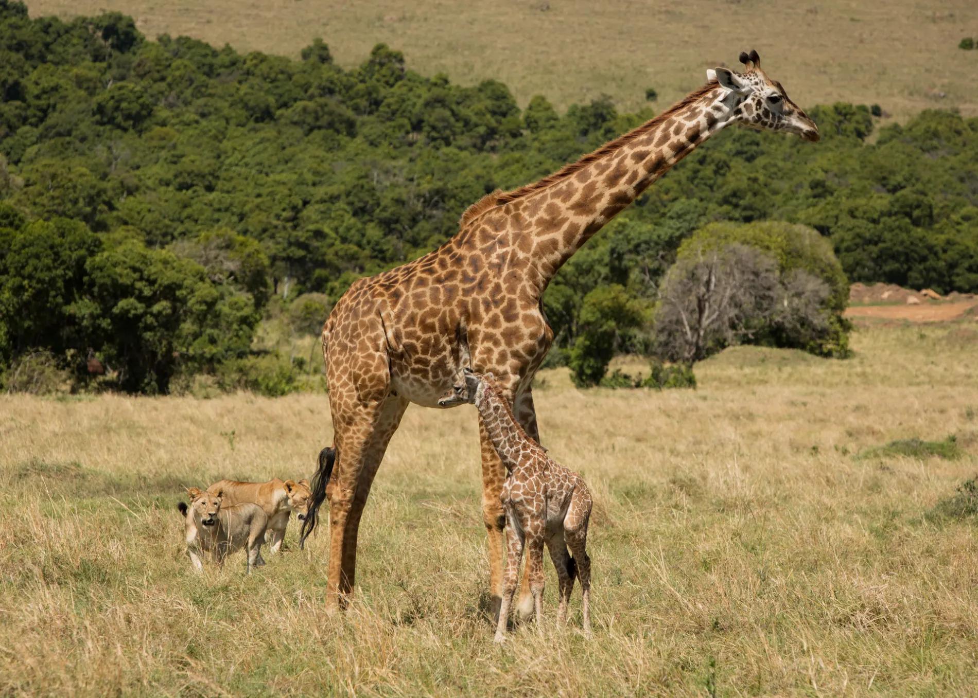2 lionesses hunting baby giraffe
