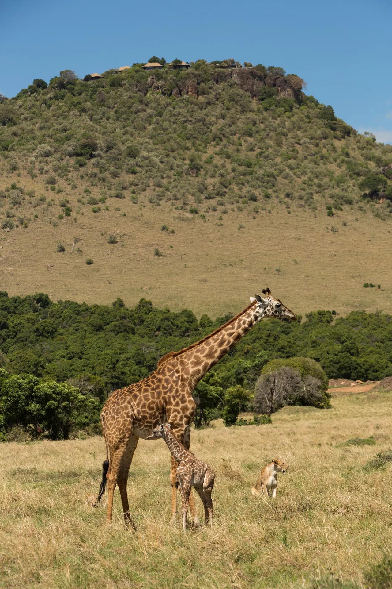 Giraffe and lioness