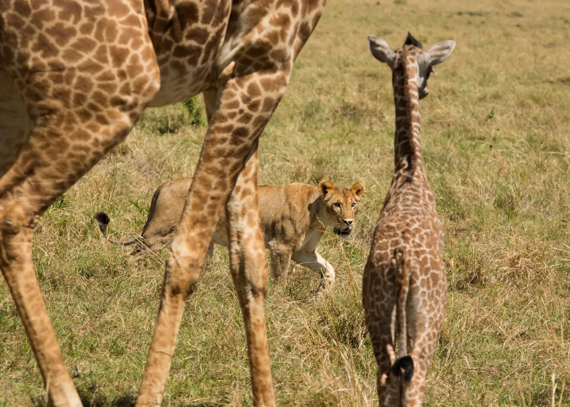 baby giraffe being stalked