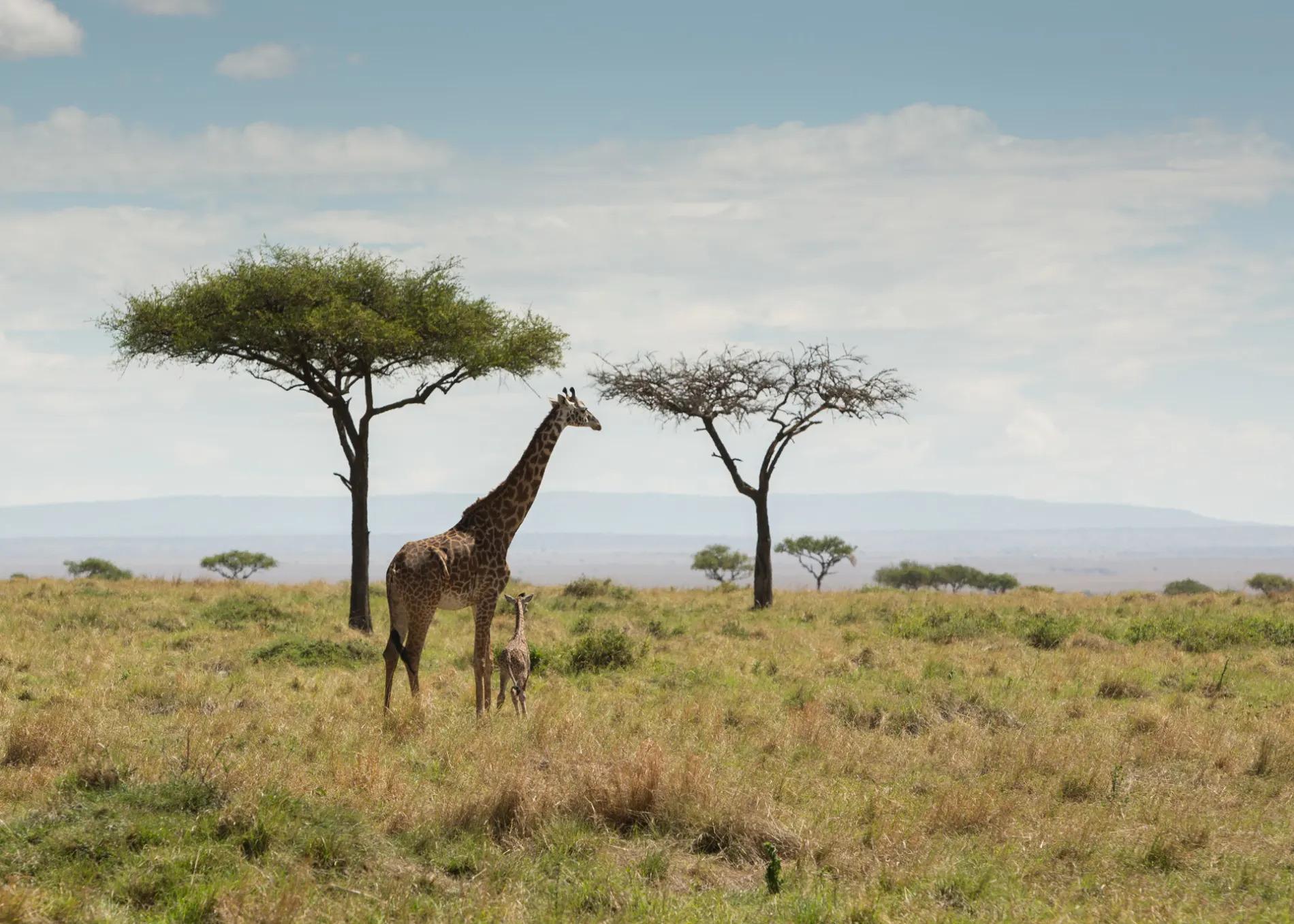 Giraffe and baby safe