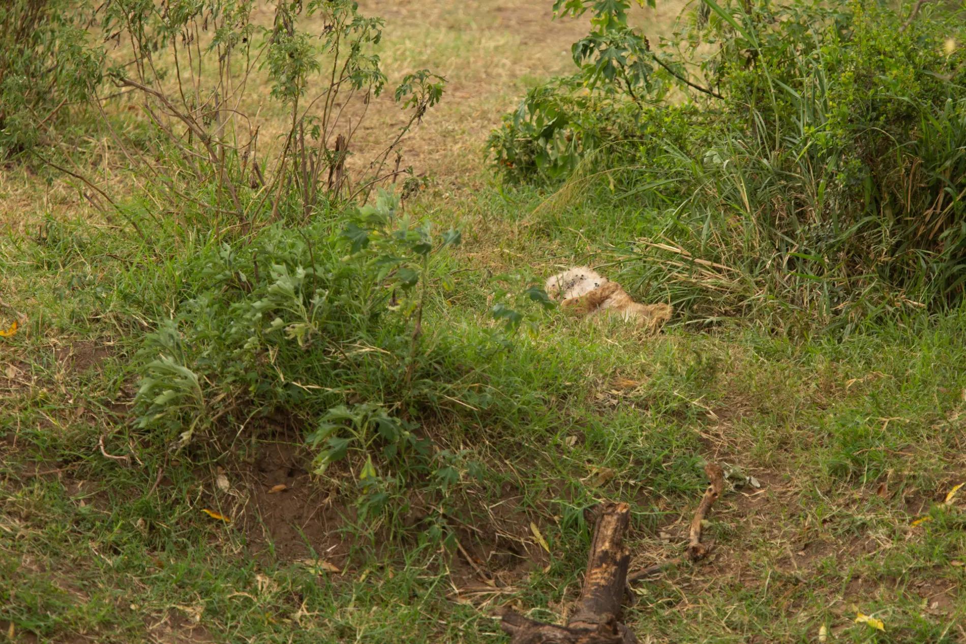 Lion cub death