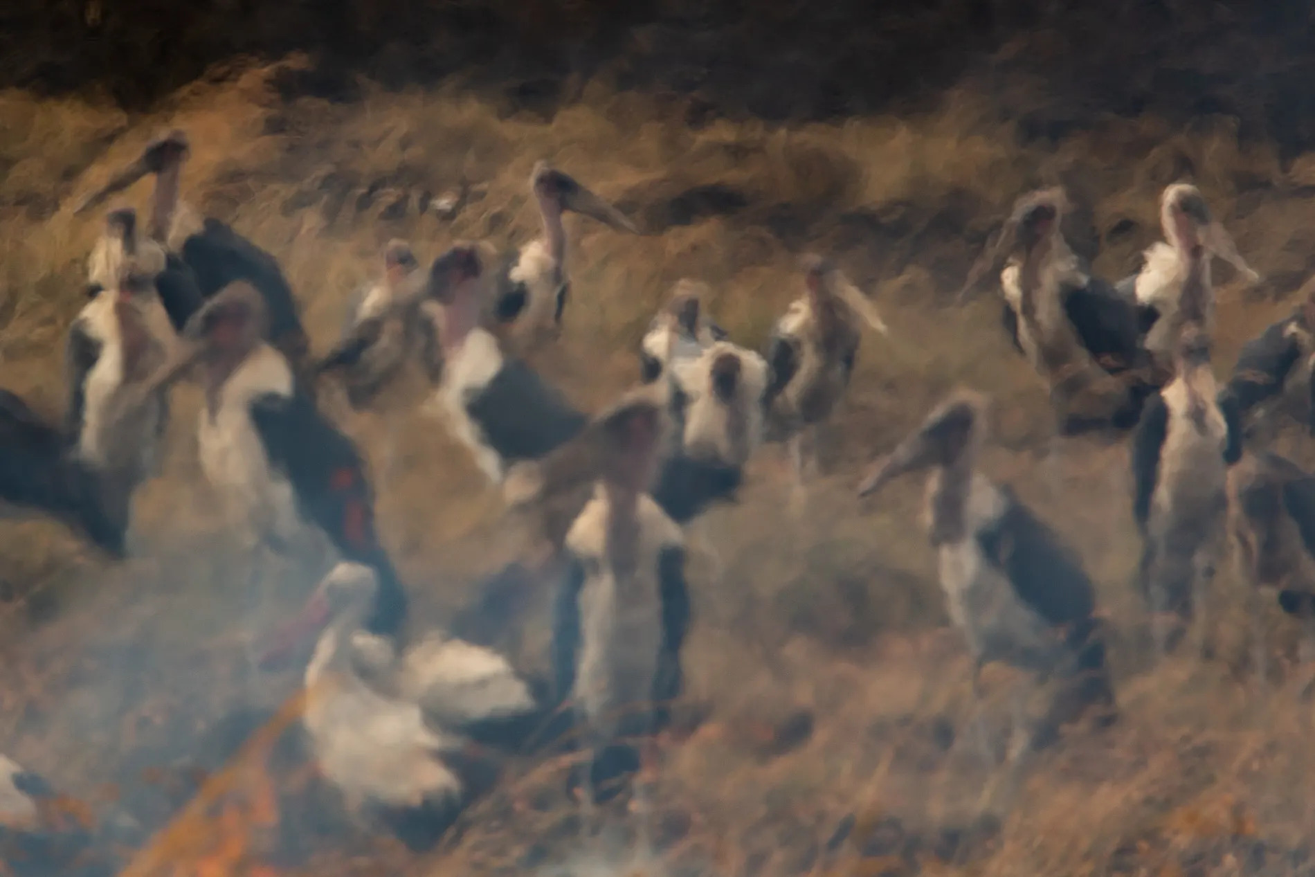 Marabou Storks in fire