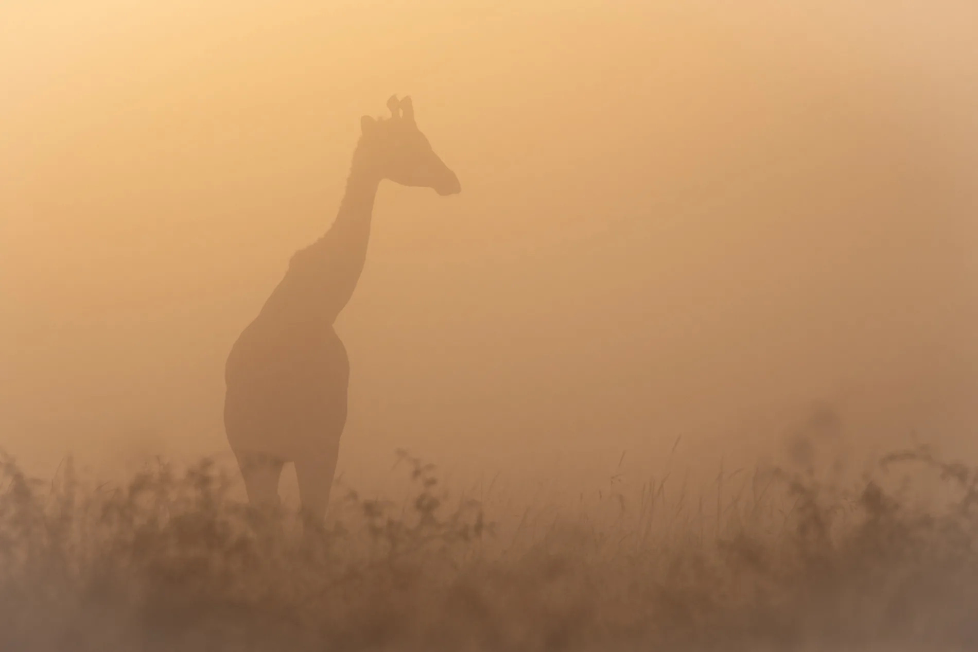 giraffe in mist