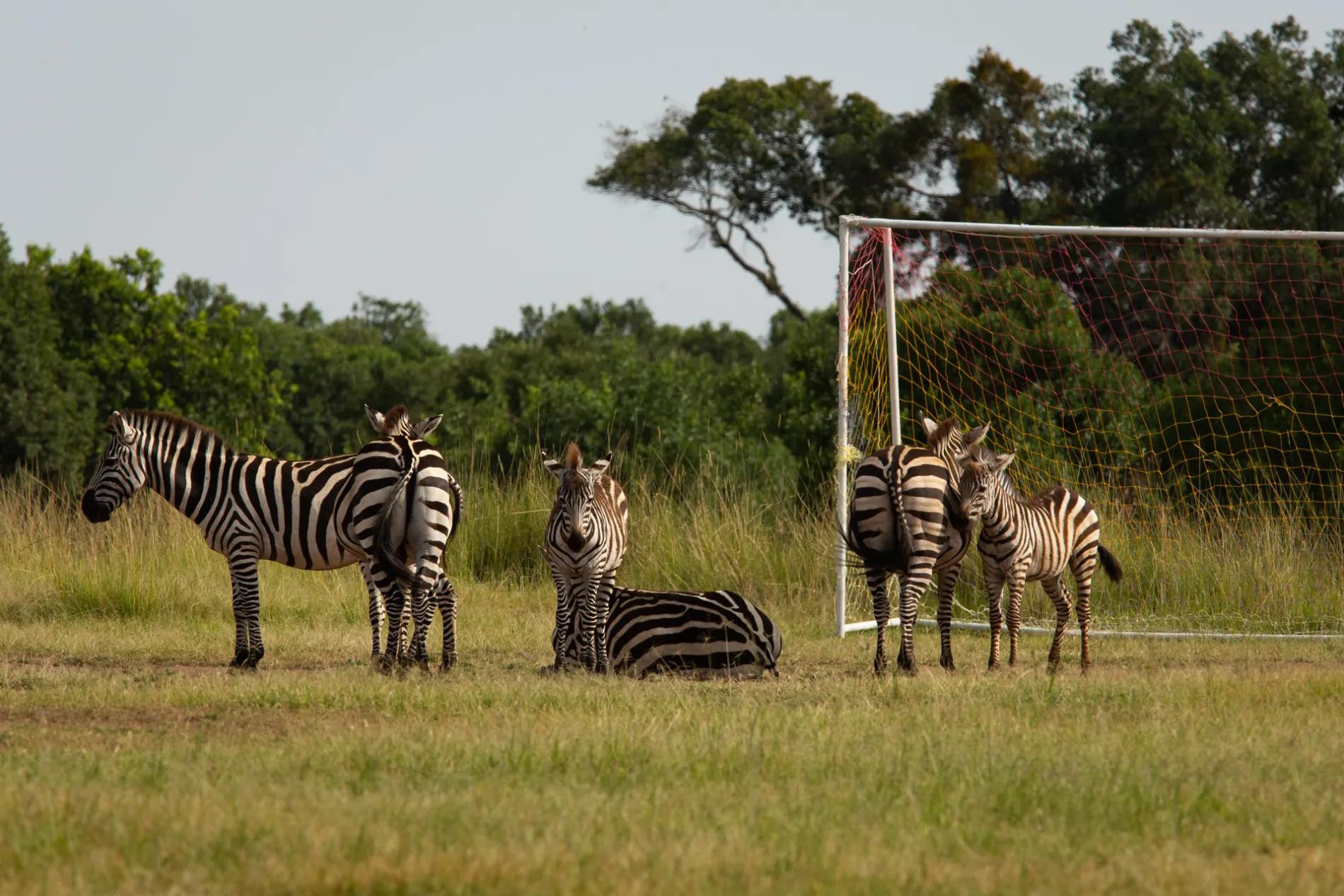 zebra and soccer pitch