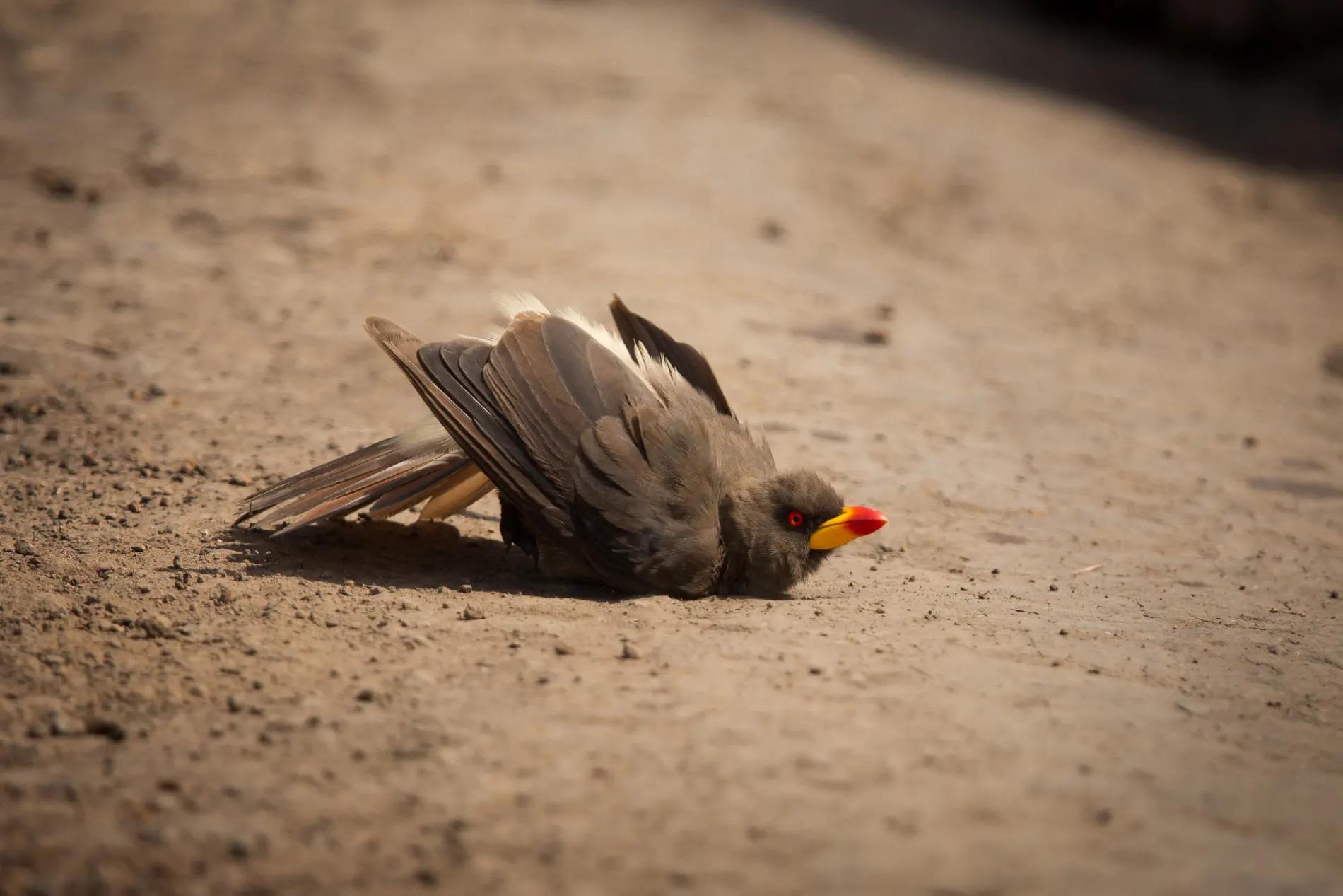 Oxpecker dustbath