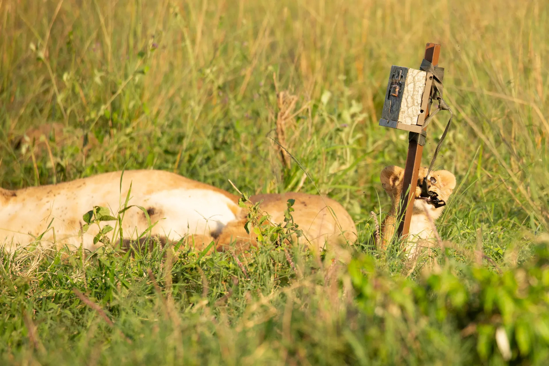 Lion cub and camera