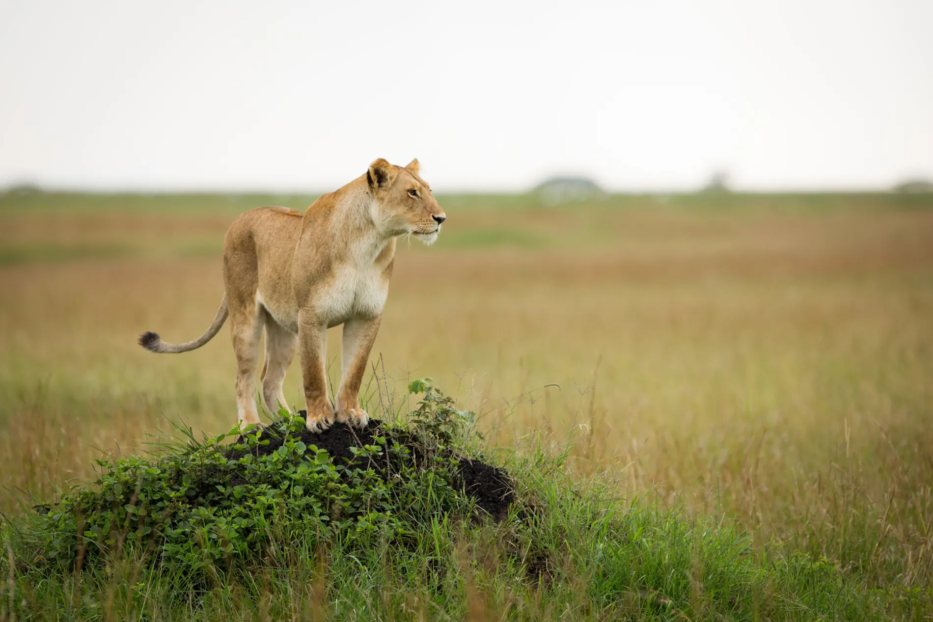 lioness on termite mound