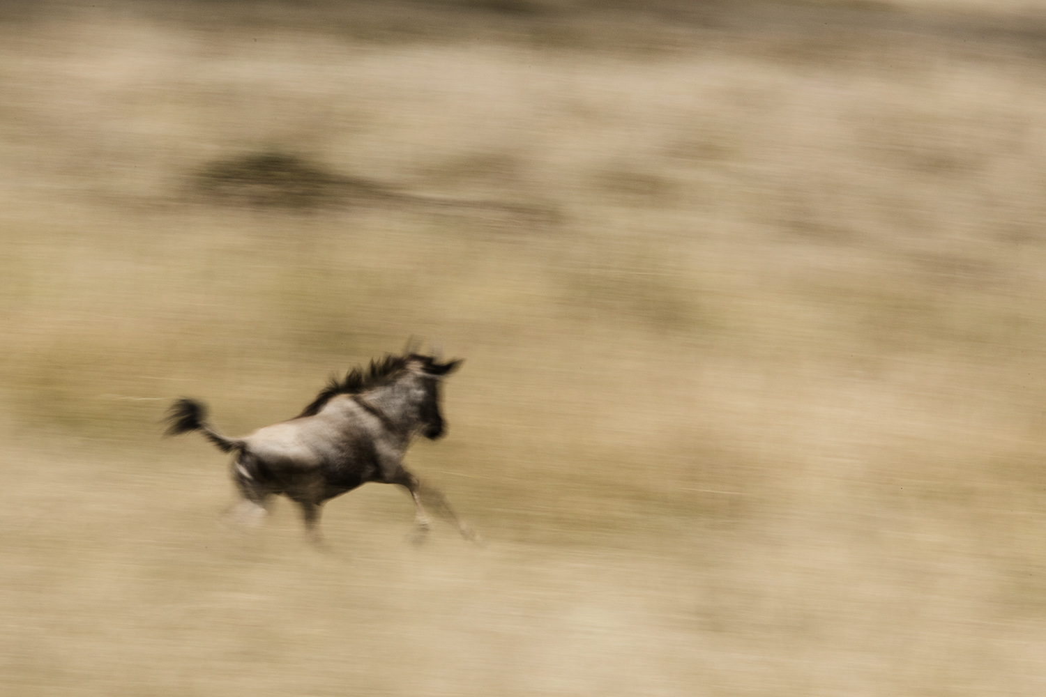 A young Wildebeest during the great migration in the Maasai Mara