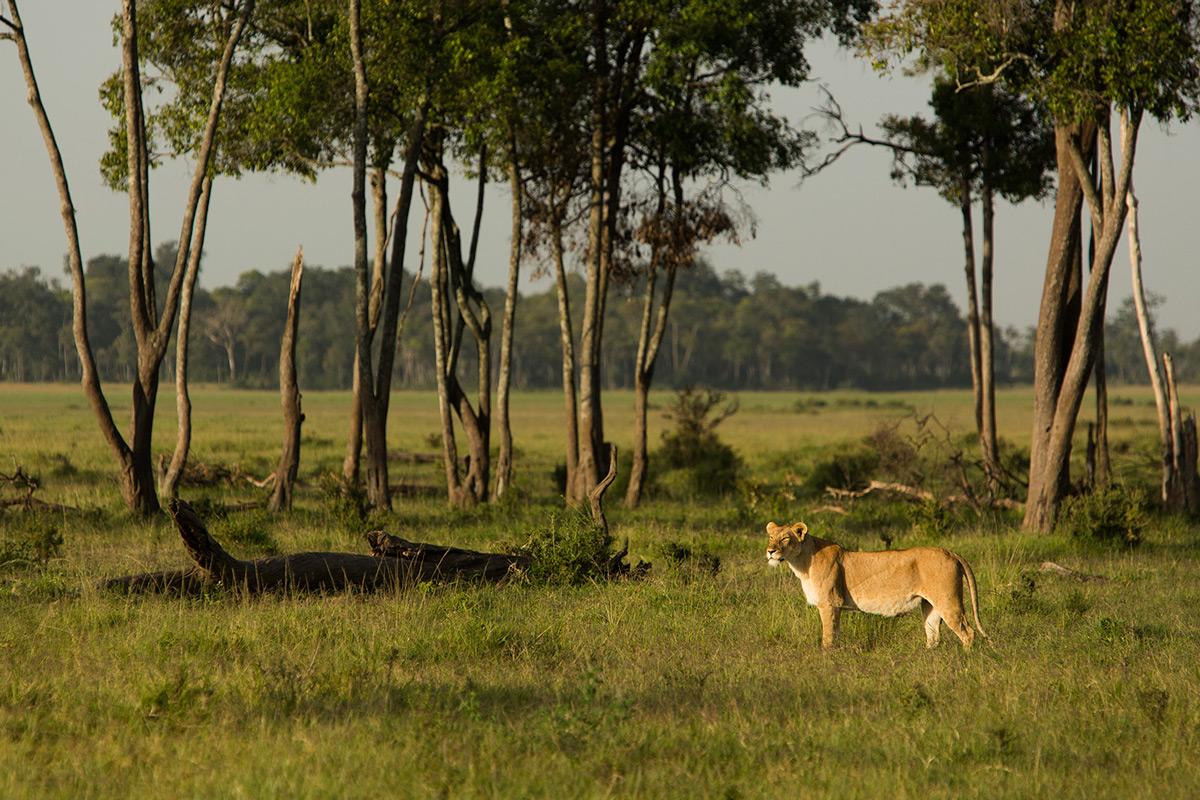 Lioness-from-Marsh-Breakaways
