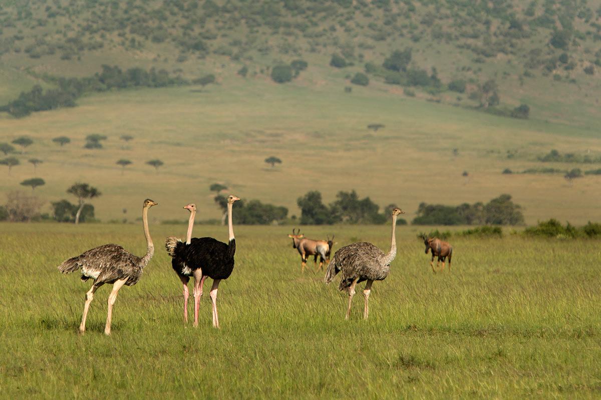 Ostrich-group