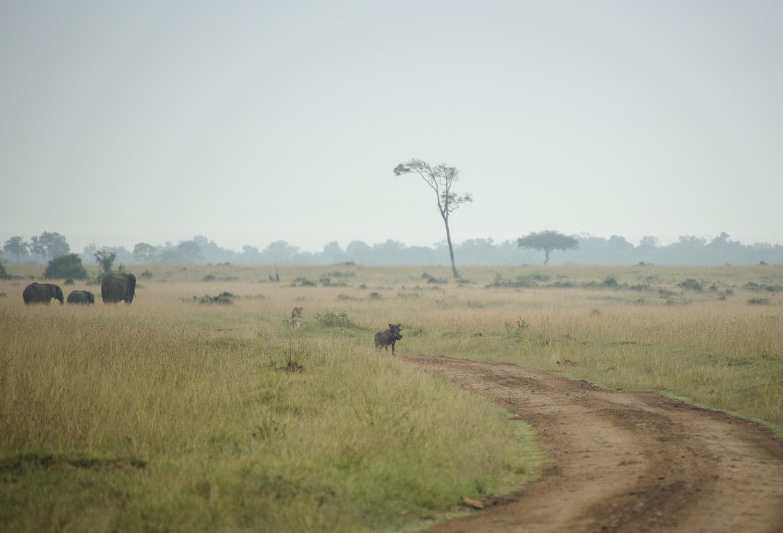 Lion stalks warthog