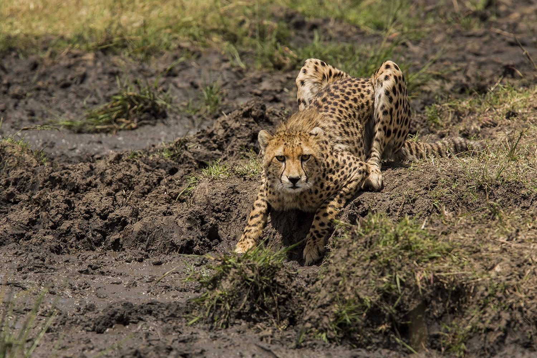 Cheetah looving at the photographer in the maasai mara