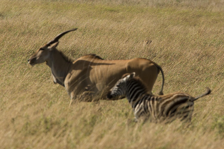 Leoaprd and Eland on african safari