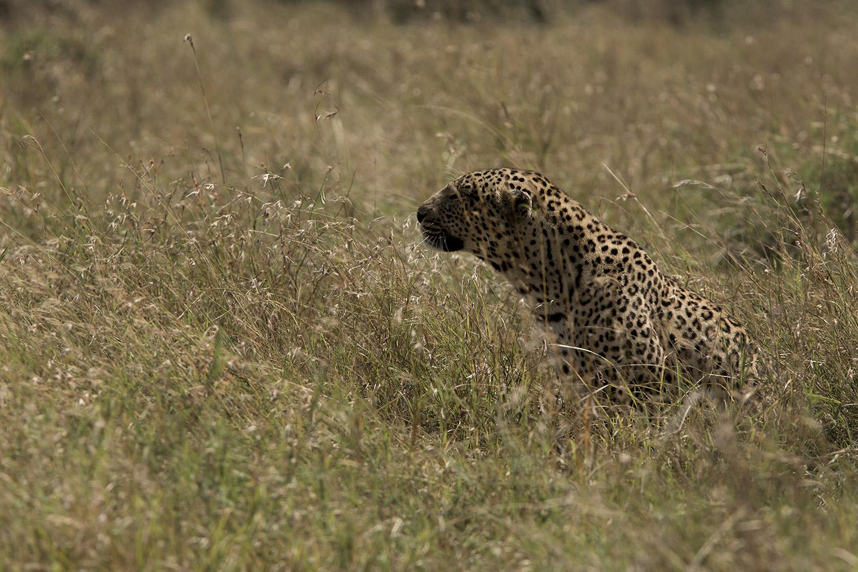 Leopard desat in the maasai mara bush