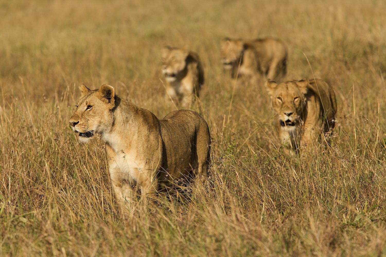 Lions walking in the maasai mara