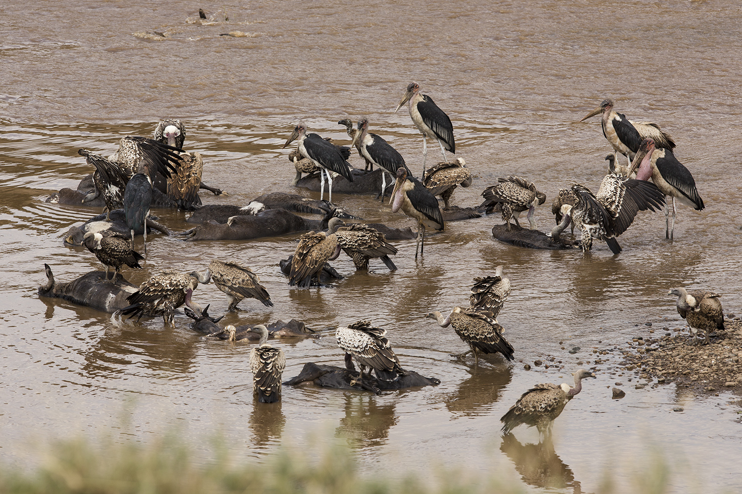 Vulture frenzy on the maasai mara migration river crossing