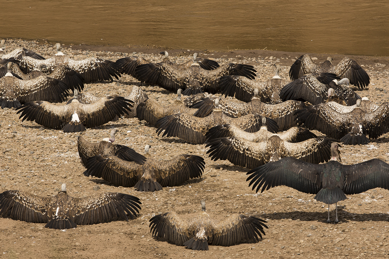 Vultures at rest waiting to feast on migration leftovers