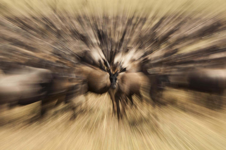 Wildebeest the great migration Maasai mara