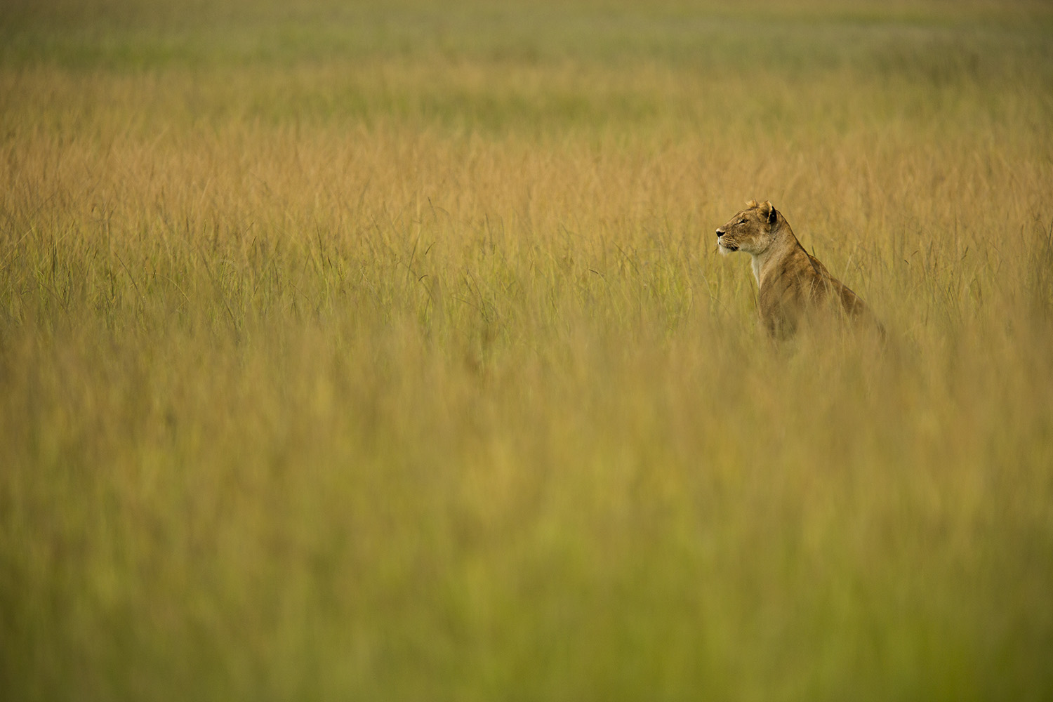 Lioness in yellow grass