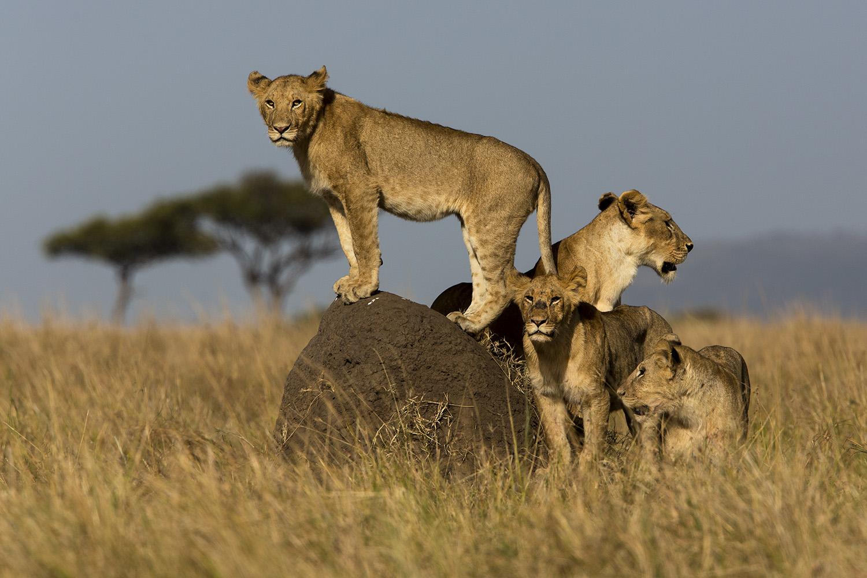Lions on mound Maasai Mara