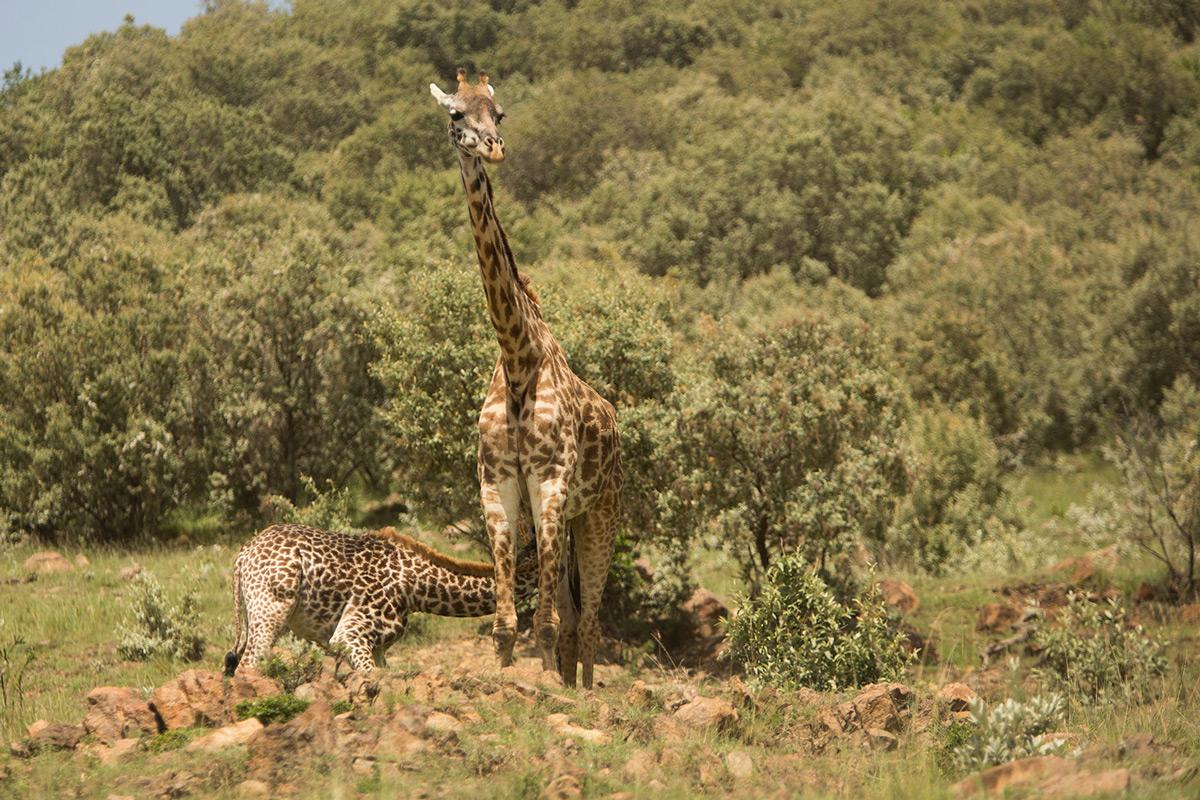 Giraffe-suckling
