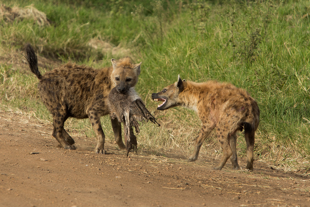 Hyena-fight-over-meat